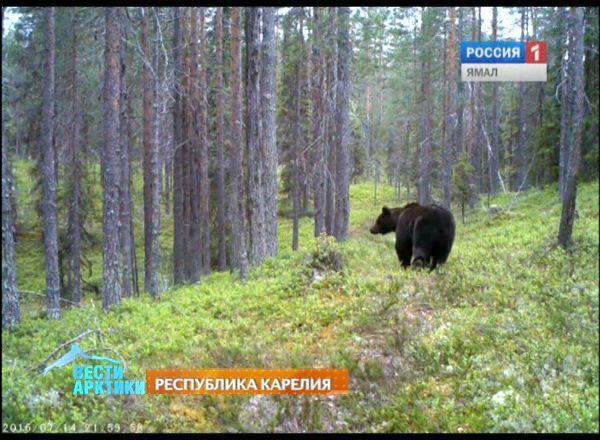 Есть ли медведи в Карелии? - Отдых в Карелии