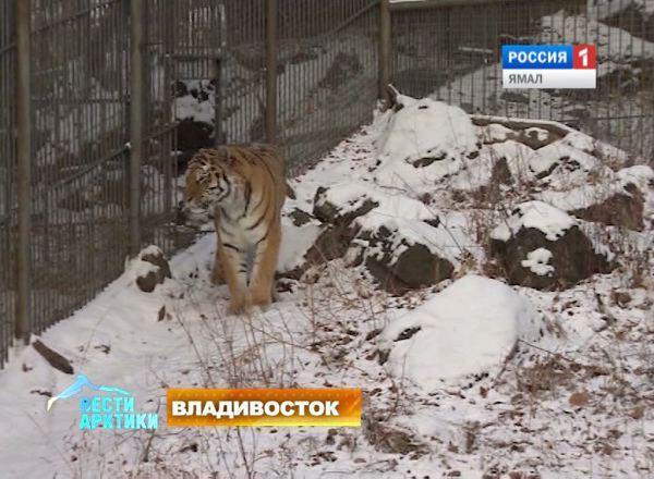 Тигр Амур в Сафари-парке