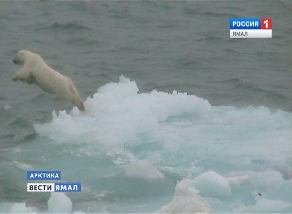 Белый медведь ныряет со льдины