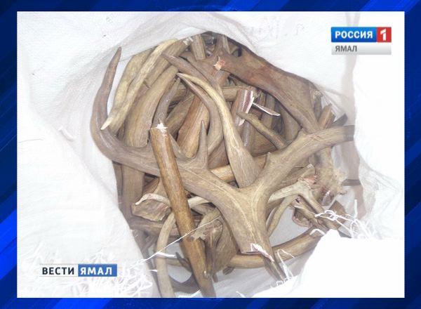 Лом рогов оленя похитили у тазовского тундровика