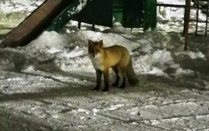 «Как из мультика». У салехардских пользователей вызвала умиление красивая лисичка, разгуливающая по городу. ФОТО