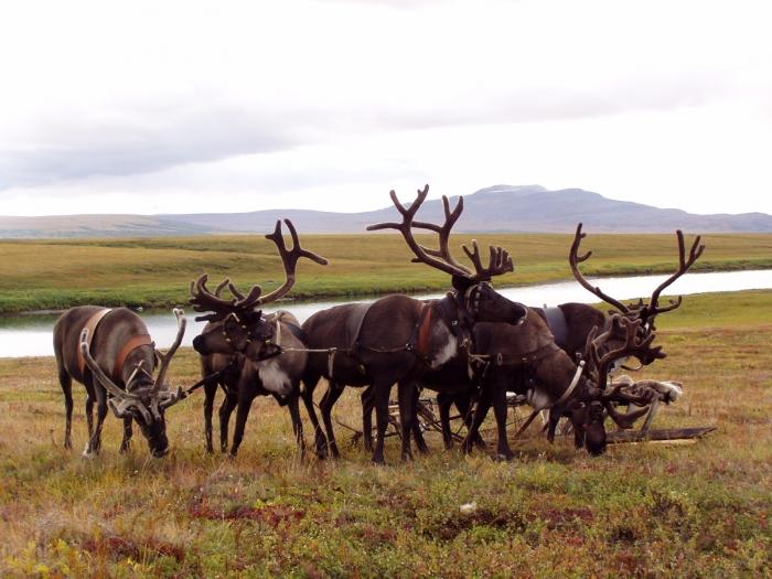 Большое количество оленей угрожает пастбищам