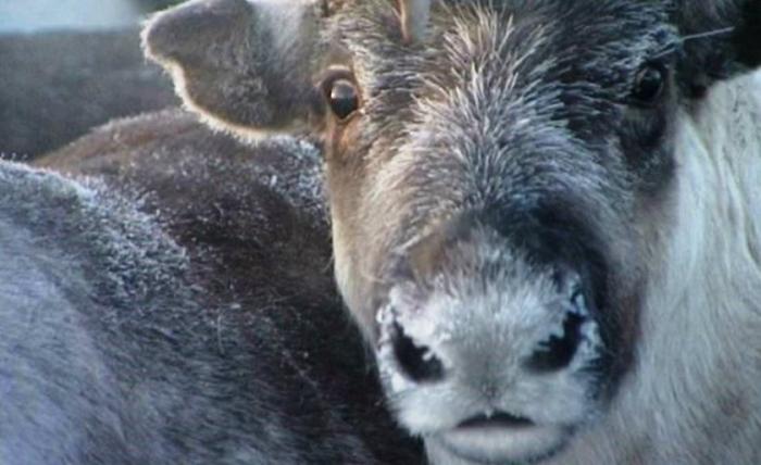 Ученые подтвердили угнетенность оленьих пастбищ и дефицит кормовых лишайников на Ямале