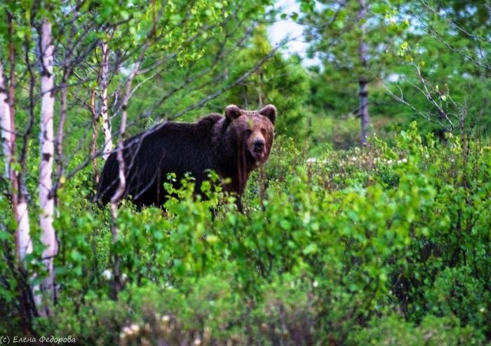 В Новом Уренгое отчаянный фотограф «нос к носу» столкнулась с медведем (ФОТО)