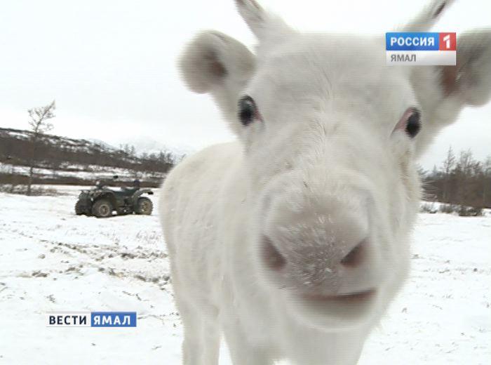 Финский предприниматель приехал наЯмал, чтобы скупить оленьи шкуры