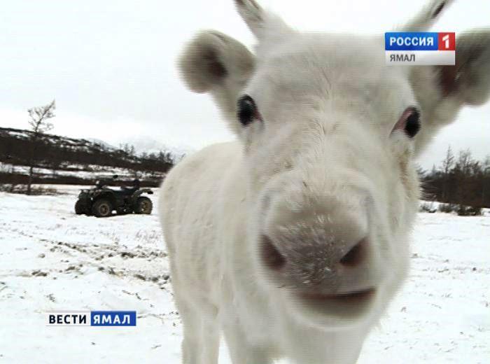 Ямал заказал млн доз вакцины отсибирской язвы