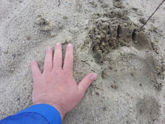 В окрестностях Нового Уренгоя бродят медведи (фото)