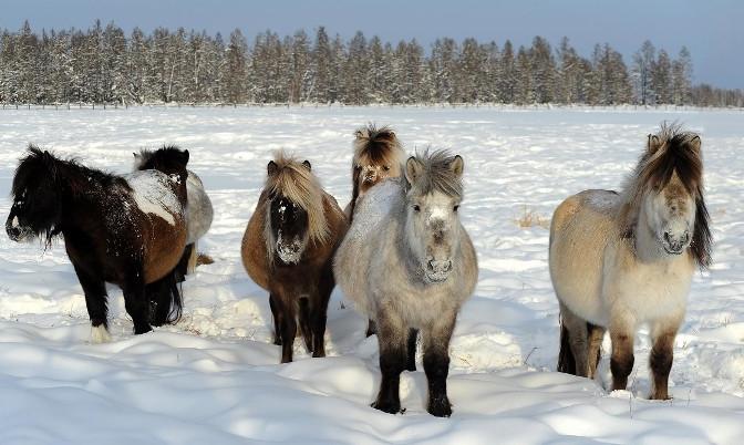 В агрофирме «Толькинская» скоро появятся жеребята от якутских кобыл