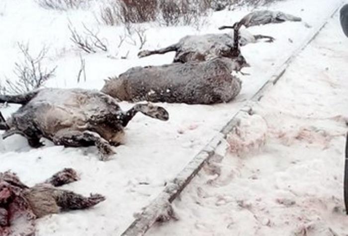 На Ямале поезд задавил несколько десятков оленей (фото)