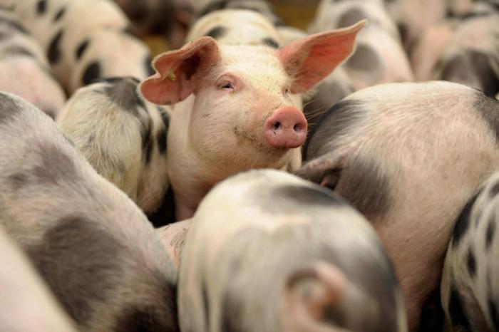 Ученые: свиньи распознают лицо человека