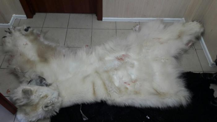 Браконьеры заплатят заубийство белого медведя наЯмале