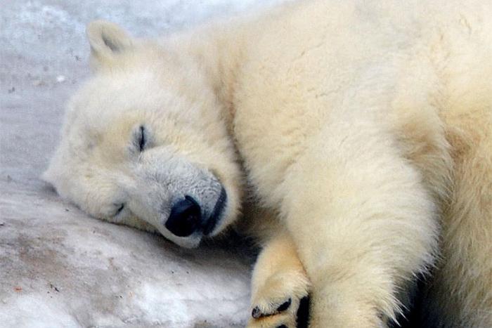 НаЯмале ищут браконьера. Онубил белого медведя ради крупной суммы