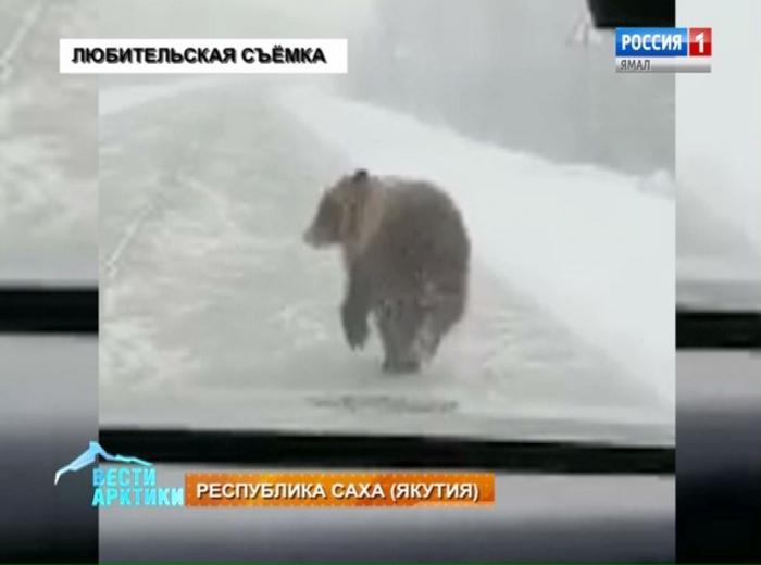 Медведь-циркач разгуливал по дорогам Якутии