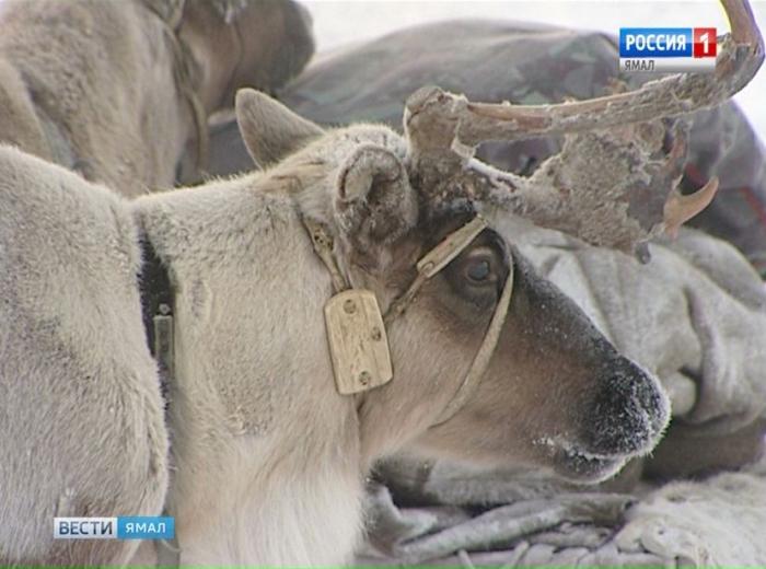 Специалисты озвучили причины падежа оленей на Ямале