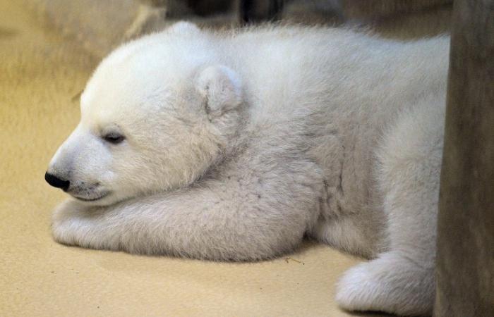Погибающего наЧукотке белого медвежонка спасли поличному указу Шойгу