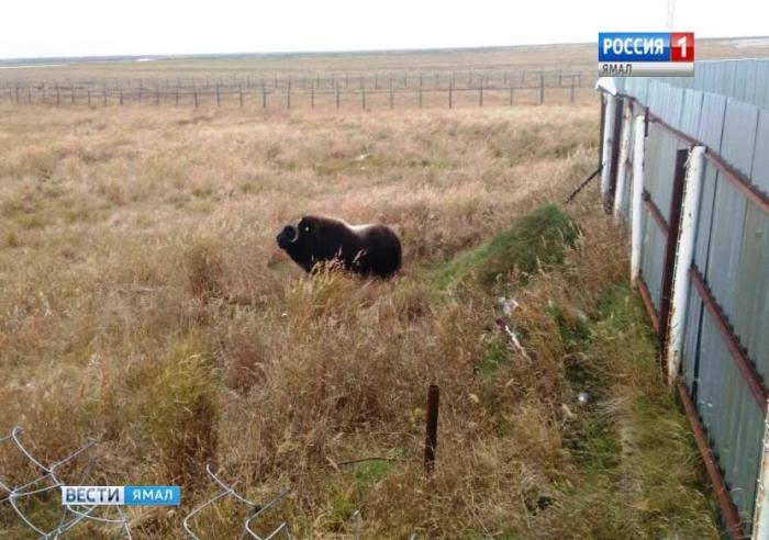 На ярсалинскую забойку наведался овцебык