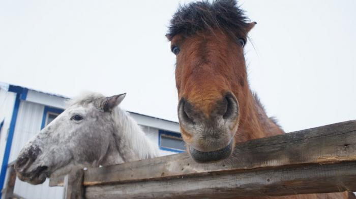 Бараны, лошади и кролики ждут в гости салехардских детей