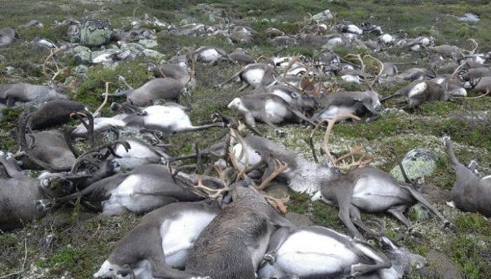 Молния убила 300 оленей вНорвегии