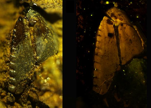 Зуб аляскинского дромеозаврида. Фото: Chiarenza et al., PLoS ONE